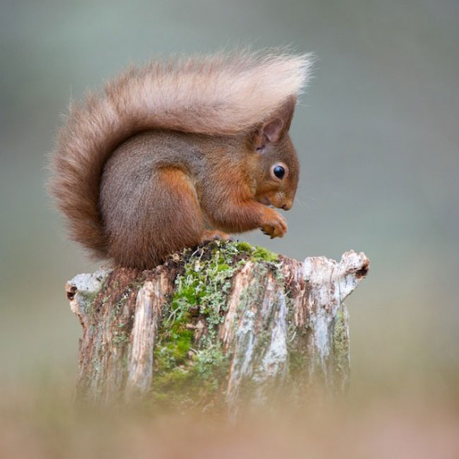 Landowners_Red_squirrel_credit_Richard_Bowler