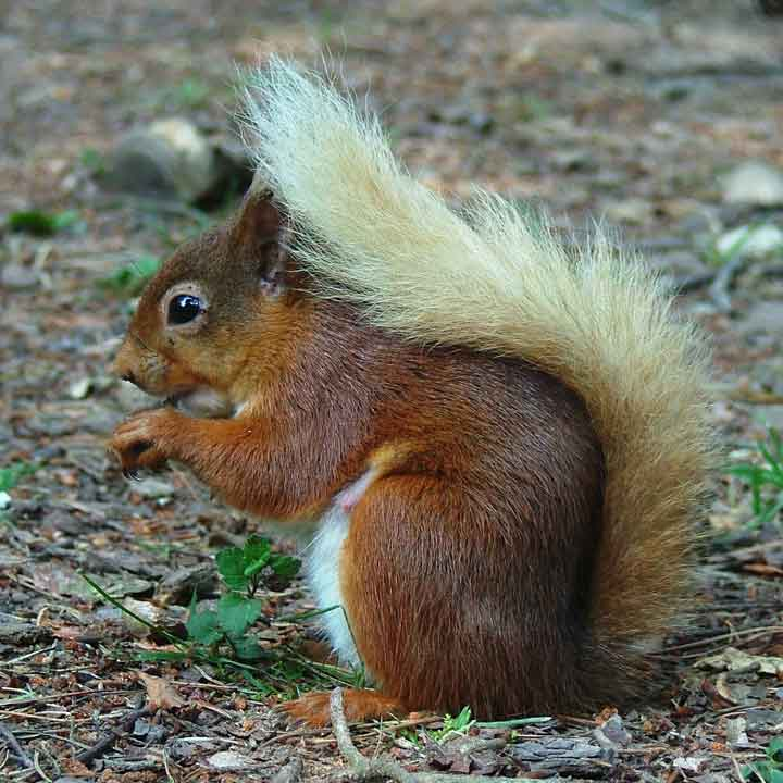 Red-Squirrel-by-Sarah-McNeil