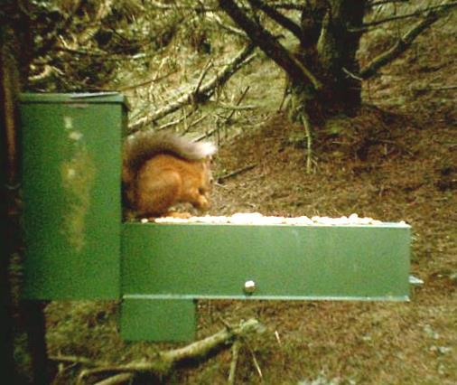 Red squirrel at monitored feeding station near Llanfair