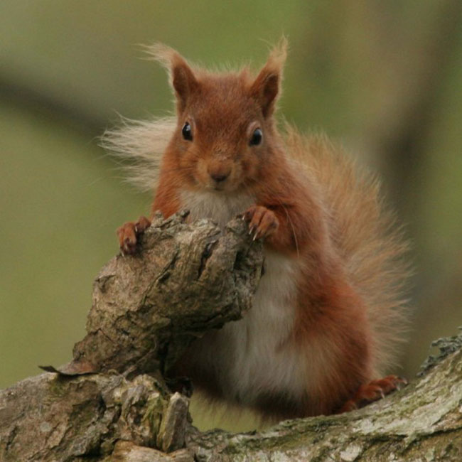 Red squirrel by Margaret Holland