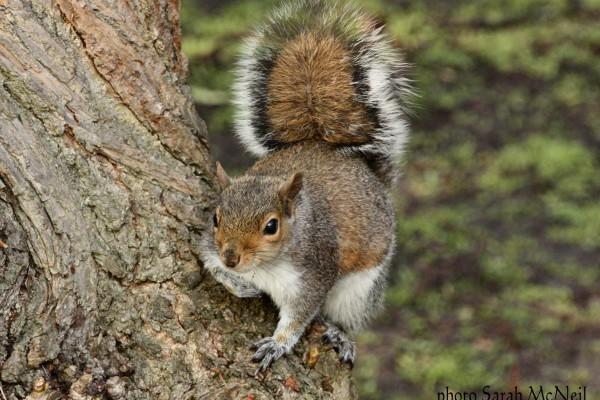 Grey squirrel by Sarah McNeil