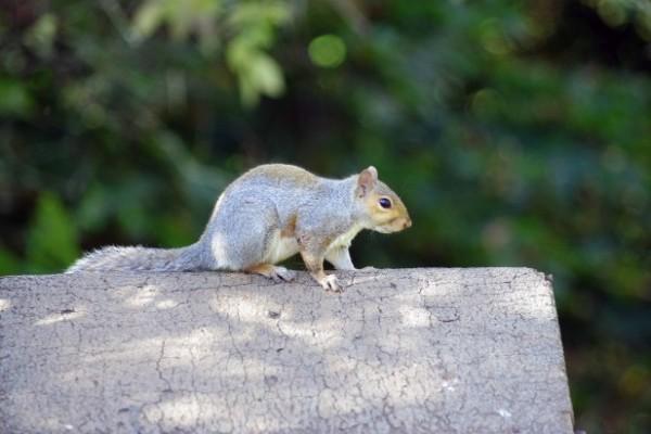 Grey squirrel on log by Gillian Day