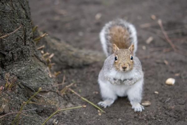 Grey squirrel by Susanna Bird