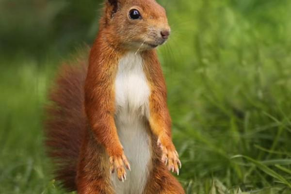 Red Squirrel by Jon Hawkins