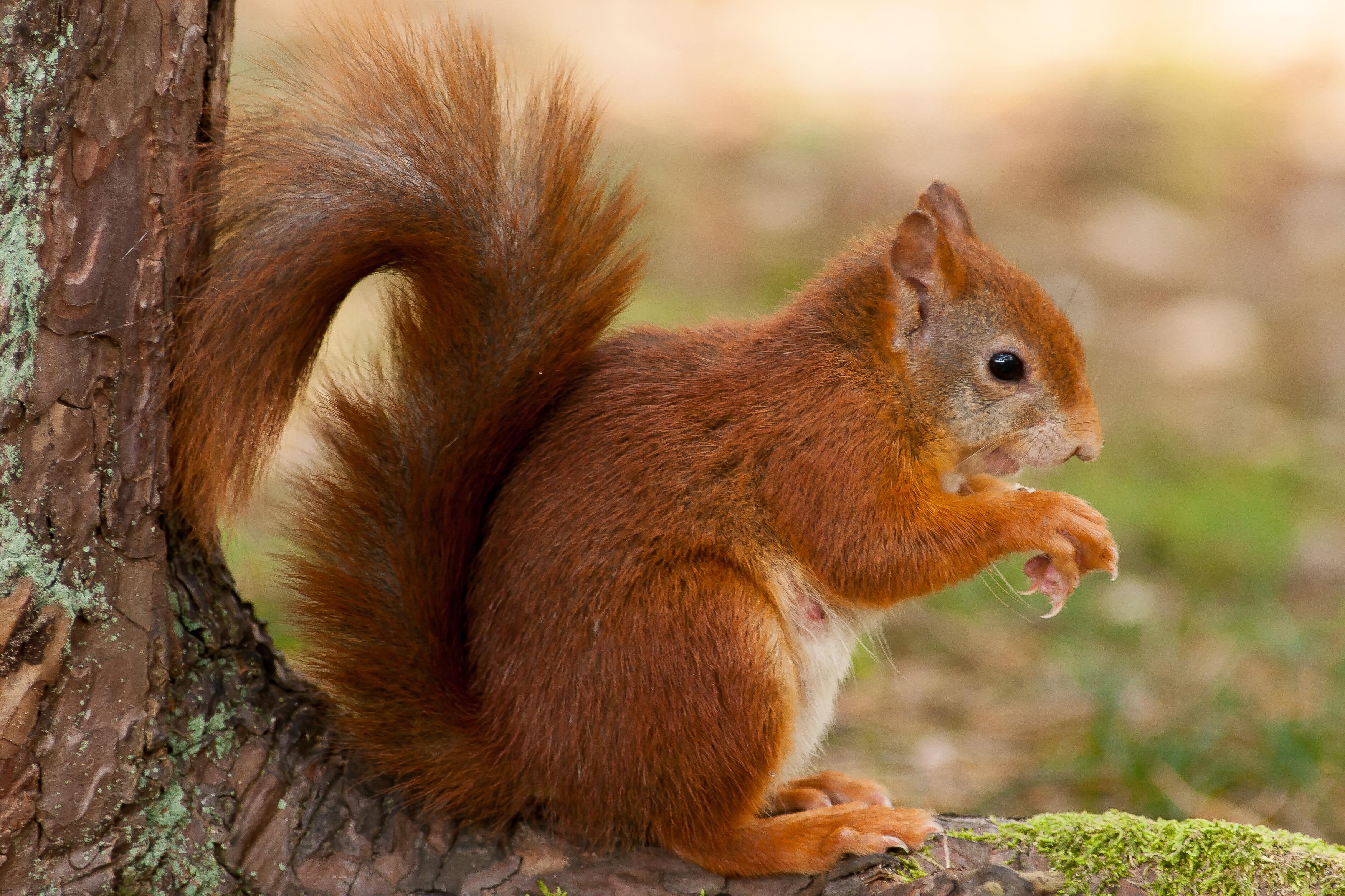 red squirrel سنجاب قرمز