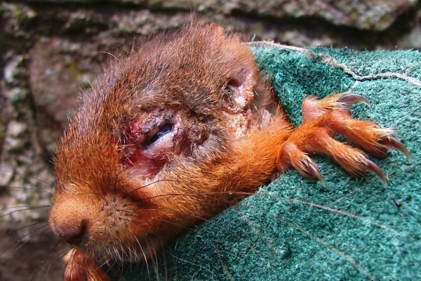 Squirrelpox