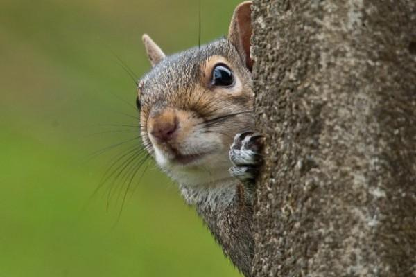 Grey Squirrel - Bob Coyle