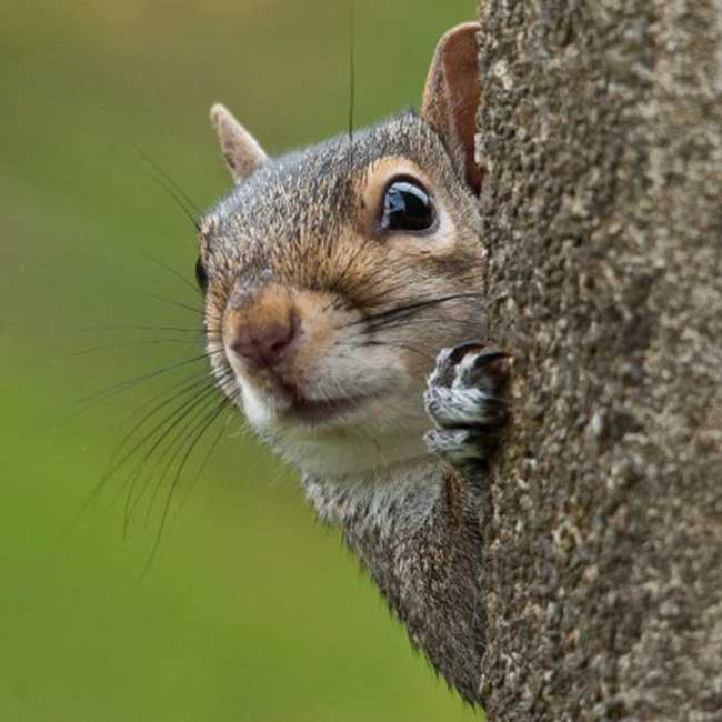 Grey_Squirrel_by_Bob_Coyle