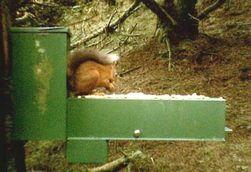 Red squirrel at monitored feeding station