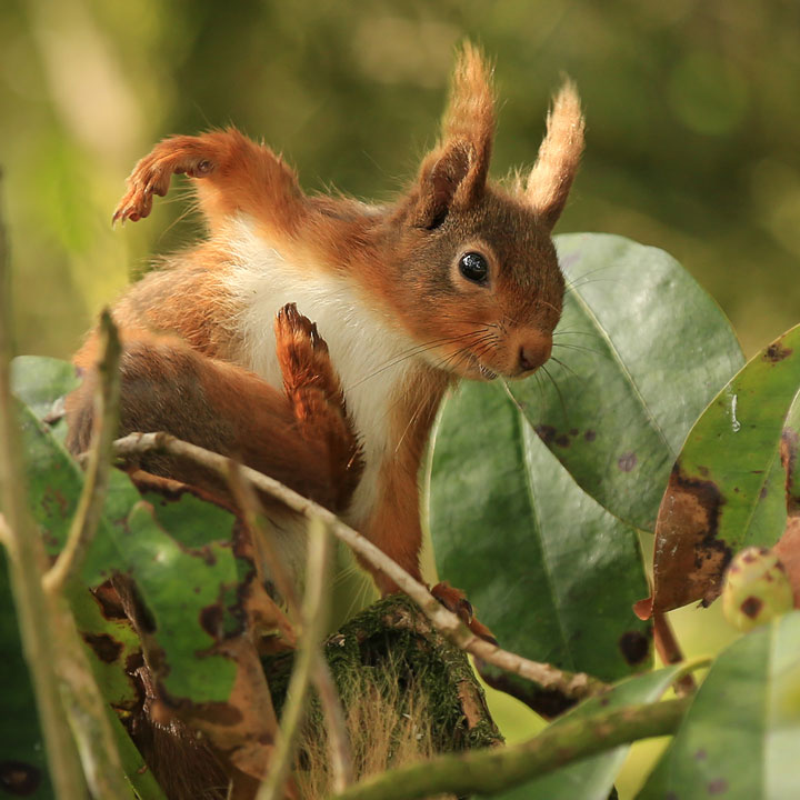 Red Squirrel Scotland by Jon Hawkins
