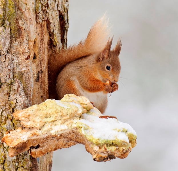 Red_squirrel_credit to_Andrew Mason - CROP2