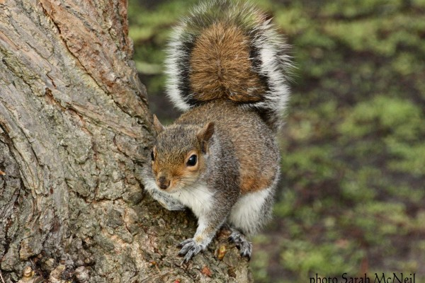 Grey squirrel by Sarah McNeil