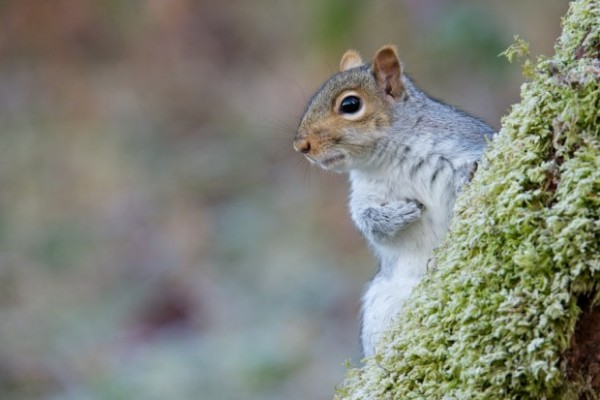 Grey squirrel by Richard Bowler
