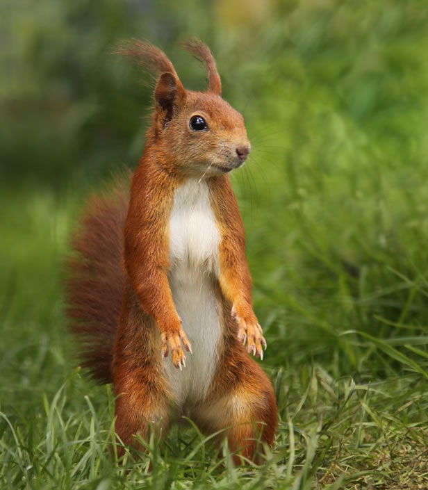Red Squirrel by Jon Hawkins