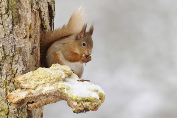 Red squirrel by Andrew Mason