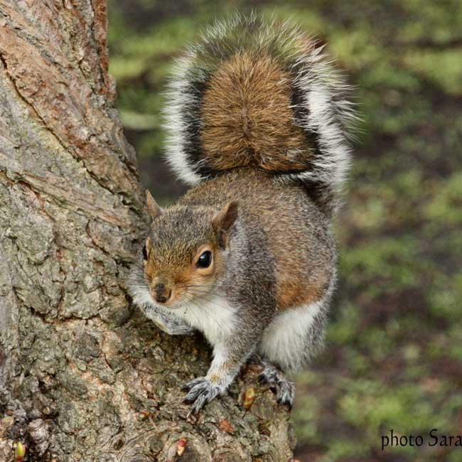 Grey-squirrel-credit-to-Sarah-McNeil