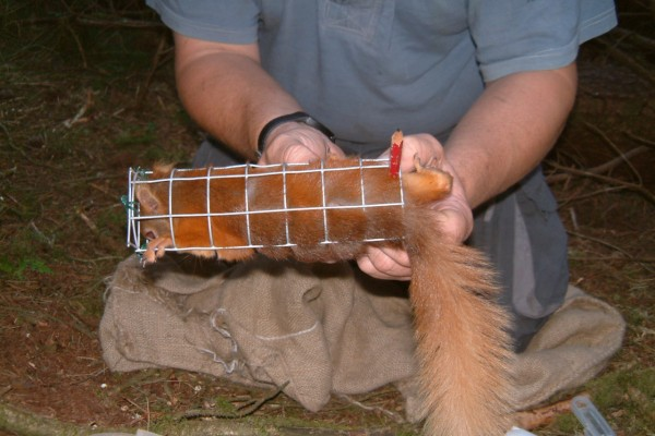 Red Squirrel in cone