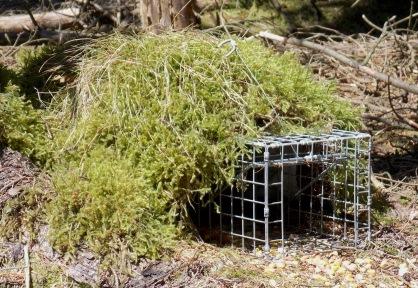 Squirrel trap in position